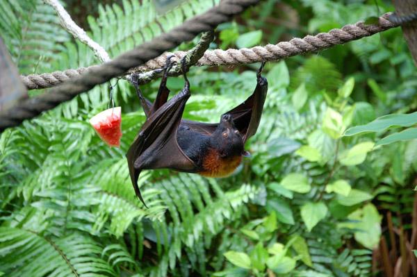 Bat eating fruit