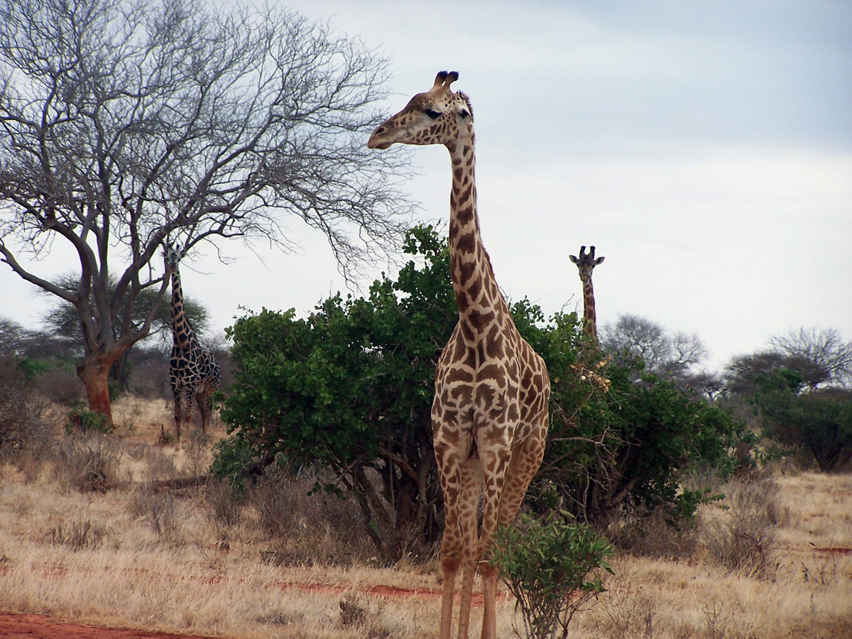 Giraff safari i Afrika. Bilden har Creative Commons Attribute licens